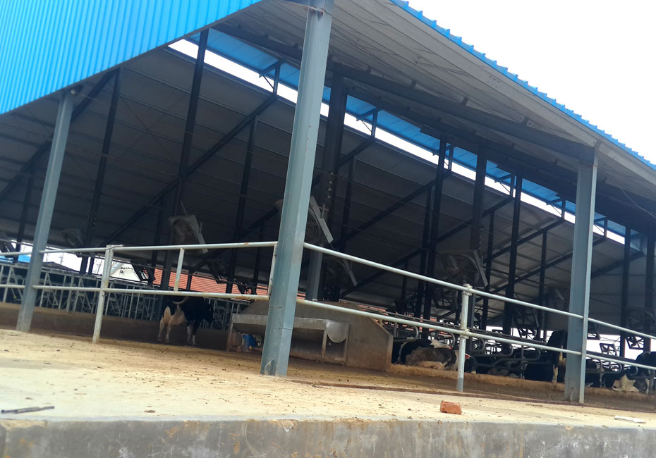 steel structure cattle shed building